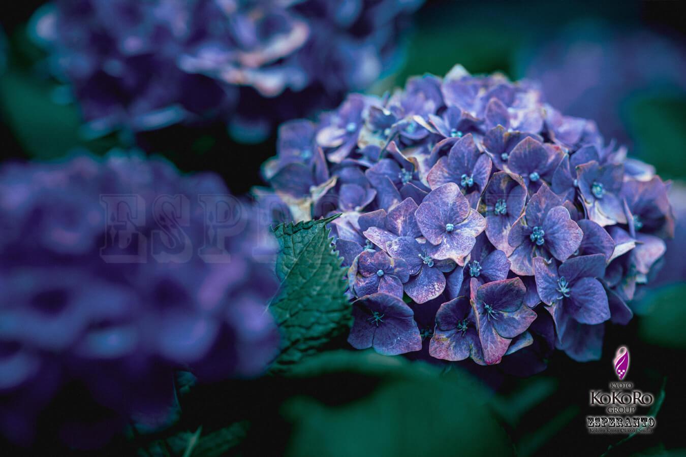 紫陽花 着物撮影